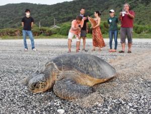 住民らに救助されて海へ帰るアオウミガメ=5月、龍郷町