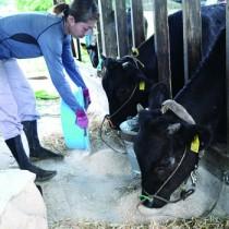 徳之島町の委託事業で肥育されている子牛=6日、同町南原