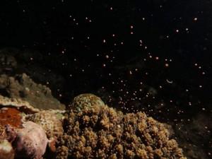沖永良部島で確認されたサンゴの産卵=11日午後10時ごろ(東進一郎さん撮影)