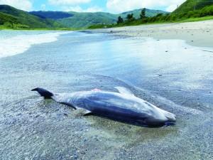 漂着したハンドウイルカの死骸=13日、奄美市住用町(奄美海洋生物研究会提供)