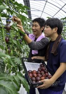 真剣な表情でパッションフルーツの収穫を行う古仁屋高校の寮生=13日、瀬戸内町阿木名