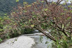 淡い紅色の実が鈴なりになったアコウ=10日、奄美市名瀬