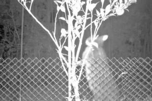 ①タンカンの葉をかじるクロウサギ(徳之島町提供)
