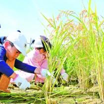 稲を刈り取る児童ら=23日、和泊町大城