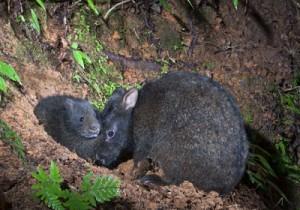 アマミノクロウサギの親子(浜田太さん撮影)