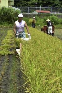 協力して稲の収穫作業に取り組む住民ら=7日、龍郷町