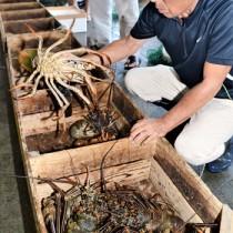 漁が解禁され、水揚げされたイセエビ=21日、名瀬漁協