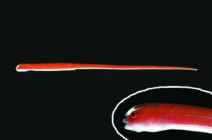 沖永良部島沖で見つかったシューヤジリチンヨウジウオ(鹿児島大学総合研究博物館提供)