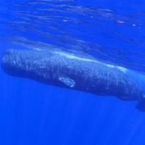 調査で確認されたマッコウクジラとミナミハンドウイルカの群れ=7月、奄美大島近海(興克樹さん撮影)