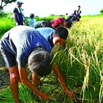 鎌を手に刈り取り作業に励む子ども=30日、伊仙町伊仙