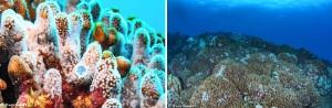 喜界島沖で確認されたアオサンゴとその大群生(喜界島サンゴ礁科学研究所提供)