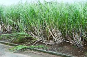 強風の影響で倒れたサトウキビ=2日、伊仙町伊仙