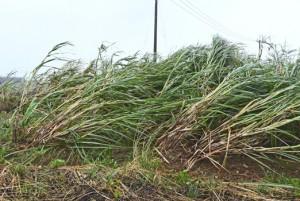 台風10号の強風にあおられるサトウキビ=6日午前10時ごろ、徳之島町神之嶺