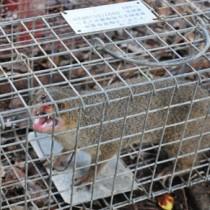 奄美大島で捕獲されたマングース=2012年6月、大和村の環境省奄美野生生物保護センター
