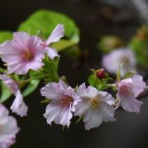 季節外れのサクラ咲く200924山崎