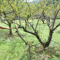 特産果樹・スモモの台風被害状況を確認する大和村職員=8日、同村