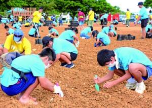 ギネス世界記録「1時間に植えた花の球根の最多数」に挑戦する参加者ら=18日、和泊町