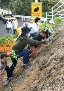 前野展望台周辺にアジサイの苗を植える住民=17日、天城町前野