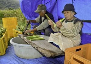 収穫したマコモの出荷作業に励む農家=19日、龍郷町幾里
