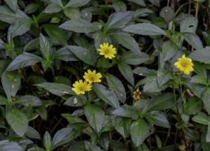 外来植物のアメリカハマグルマ