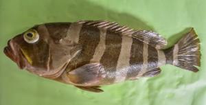 奄美大島近海で釣り上げられたヤハズアオハタ=27日、奄美市名瀬