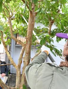 庭先の寄主果実を回収する行政担当者=24日、徳之島町母間