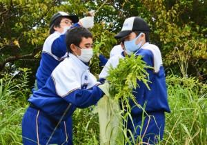 外来植物のセイタカアワダチソウを取り除く龍南中学校の生徒=7日、龍郷町