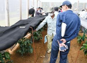 県農業開発総合センター徳之島支場が実証栽培したコーヒーノキを視察する生産農家=4日、伊仙町面縄