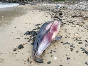 漂着したサラワクイルカ(提供写真)
