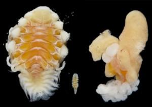 左からカニヤドリエビヤドリムシの雌と雄、ユンヌカニヤドリムシの雌(上野大輔准教授提供)