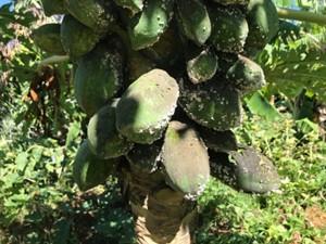 パパイアコナカイガラムシのパパイア果実への寄生状況(県病害虫防除所提供)