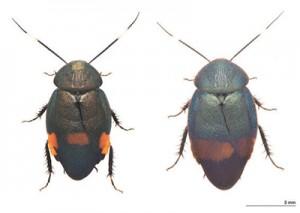 新種のアカボシルリゴキブリ(左)とウスオビルリゴキブリ(柳澤静磨氏撮影)