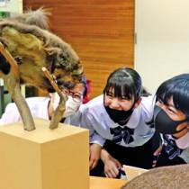 ムササビの剥製を興味深く観察する喜界中の生徒=27日、喜界町役場コミュニティーセンター
