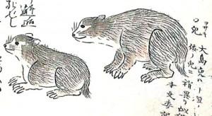 「南島雑話」に描かれたアマミノクロウサギ(奄美市立奄美博物館所蔵)