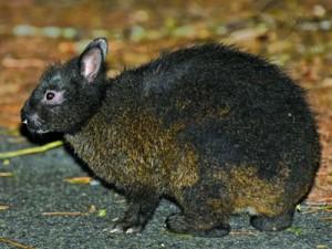 国の特別天然記念物アマミノクロウサギ(資料写真)