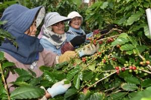 コーヒー農園で作業するスタッフ=8日、奄美市笠利町