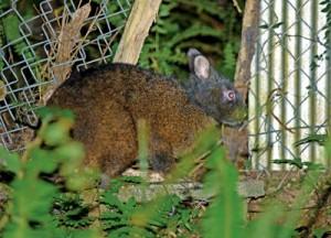 畑のそばに出没。近年キビやタンカン樹皮の食害で厄介者扱いされることも=奄美大島