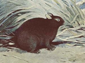 1921年に国の天然記念物に指定されたアマミノクロウサギの図版。(旧内務省発行「史跡名勝天然記念物調査報告第23号」より)