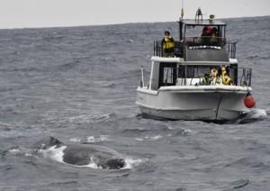 目の前に迫るザトウクジラを観察した参加者ら=16日、奄美市小湊沖