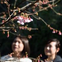 愛らしい紅色の花がほころび始めたヒカンザクラ=15日、龍郷町の長雲峠