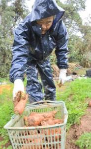 学校給食用にニンジンを収穫する和泊町シルバー人材センターの会員=7日、同町谷山