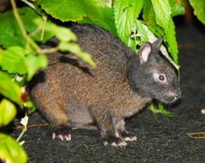 交通事故が多発しているアマミノクロウサギ