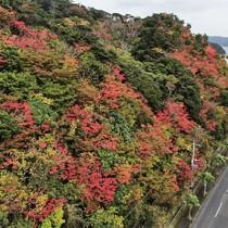 奄美の野山を彩る「紅葉」=21日、瀬戸内町古仁屋(本社小型無人機で撮影)