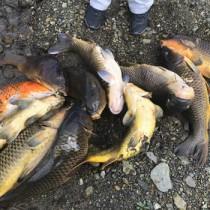 住用川で捕獲されたコイ=2020年11月、奄美市住用町(奄美海洋生物研究会提供)