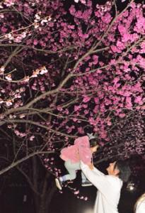 県道沿いにライトアップされたヒカンザクラ=31日、龍郷町秋名