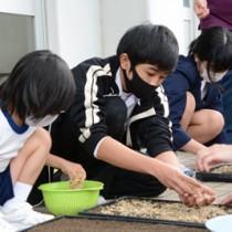 豊作を願いながらもみをまく児童生徒=26日、瀬戸内町の油井小中学校