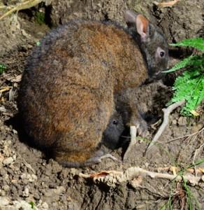 ①子ウサギに授乳するアマミノクロウサギ=2020年12月23日、奄美大島(勝さん撮影)