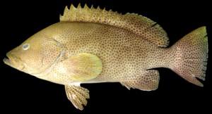新種の「マホロバハタ」(鹿児島大学総合研究博物館提供)