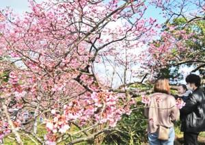 本茶峠の桜、見頃迎える(ヨコ)210131西谷