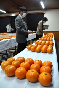 出品タンカンの外観をチェックする審査員ら=9日、奄美市名瀬の市農業研究センター